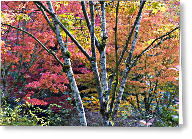Japanese Maples In Full Color Greeting Card