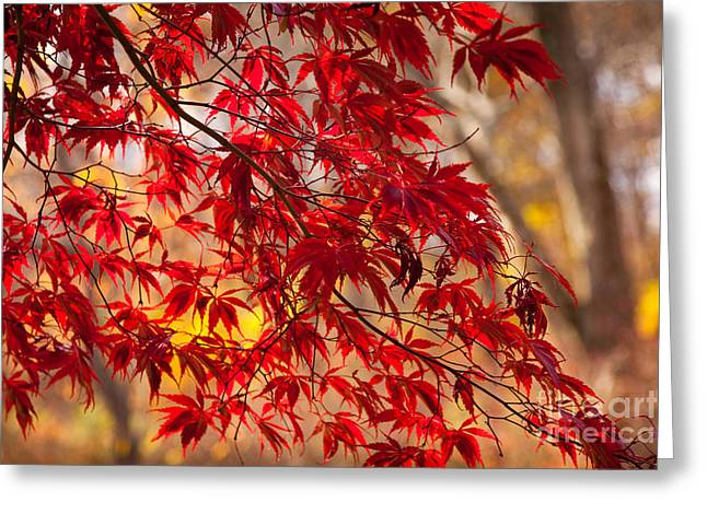 Japanese Maples Greeting Card