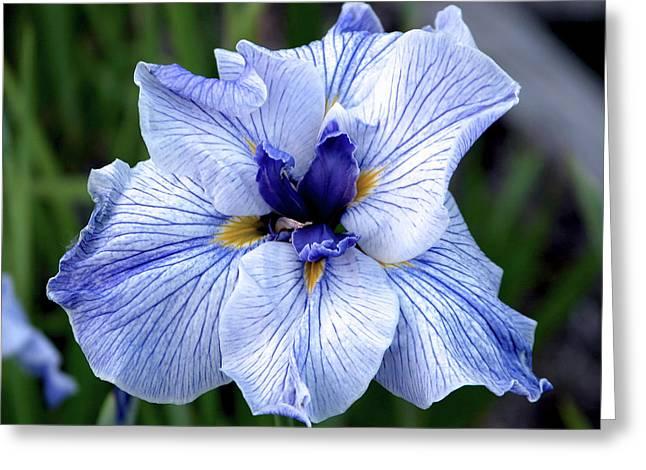 Japanese Water Iris In Blue 2695 H_3 Greeting Card