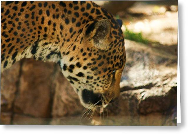 Jaquar Drinking Water Greeting Card by Russell  Barton