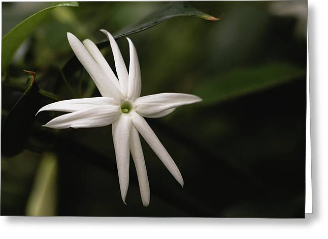 Greeting Card featuring the photograph Jasmine Flower by Cristina Stefan