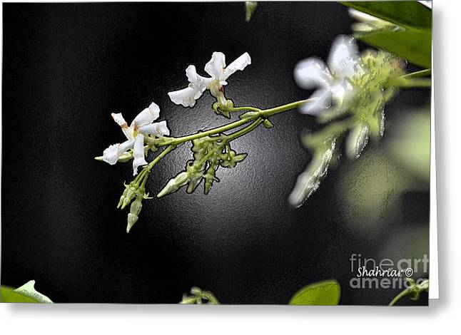 Jasmine In The Dark Greeting Card