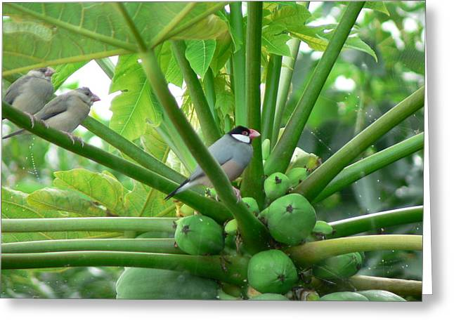 Java Sparrows Greeting Card by Don Lindemann