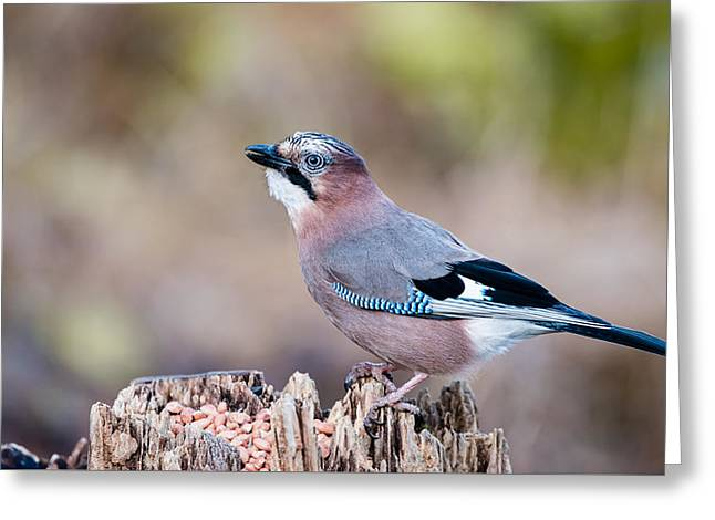 Jay In Profile Greeting Card by Torbjorn Swenelius