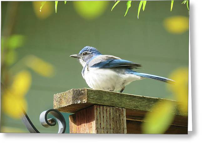 Scrub Jay On A Fence - Images From The Fall Garden Greeting Card
