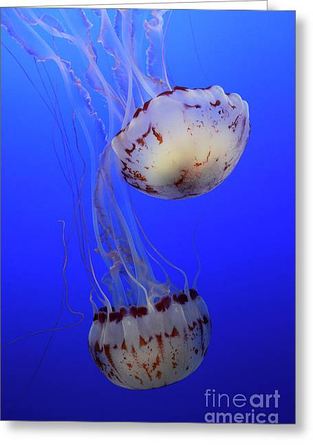 Snorkelling Greeting Cards - Jellyfish 1 Greeting Card by Bob Christopher