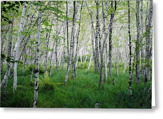 Jesup Path Birches Greeting Card by Steven Scott
