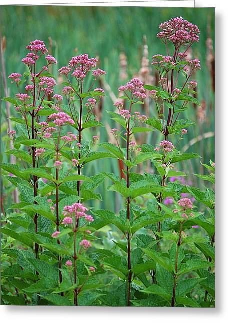 Joe-pye Weed Greeting Card