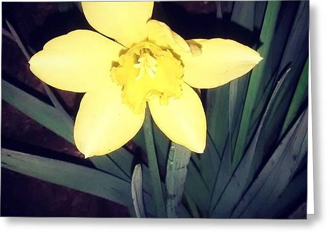 Jonquil At Night. #daffodil Greeting Card