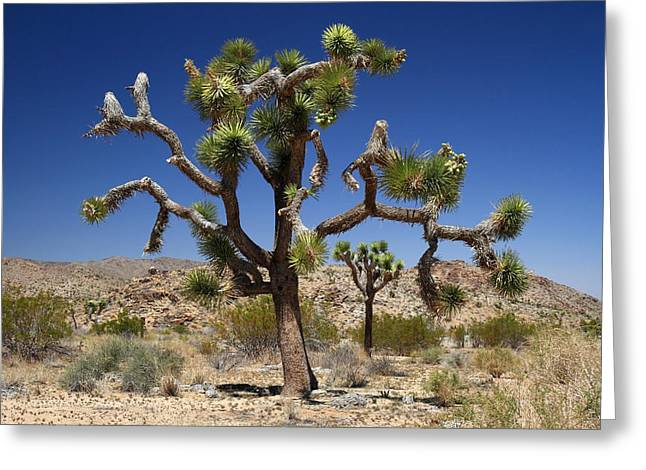Road Trip Greeting Cards - Joshua tree framed by a joshua tree Greeting Card by Pierre Leclerc Photography