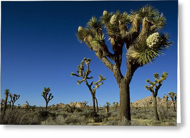 Joshua Tree In Bloom Among Others Greeting Card by Tim Laman