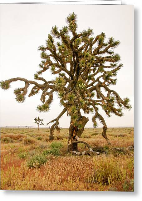 Greeting Card featuring the photograph Joshua Trees In Desert by Mike Evangelist