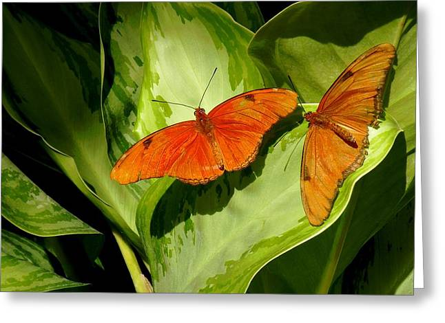 Julia Butterfly Pair Greeting Card by Rosalie Scanlon