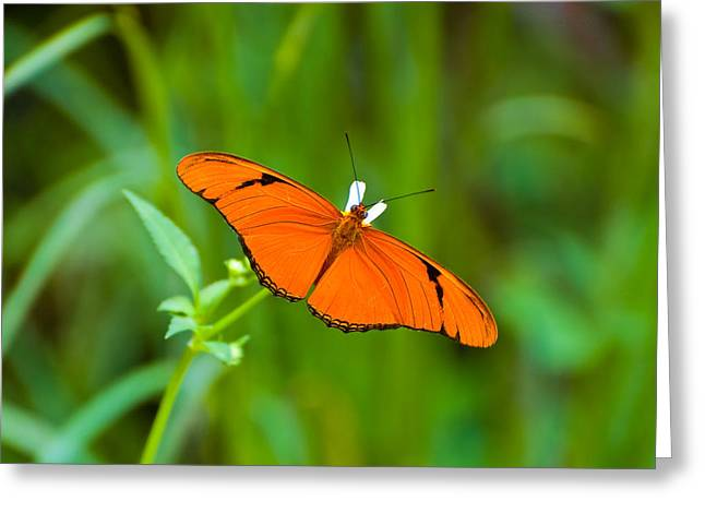 Julia Butterfly Greeting Card by Rich Leighton