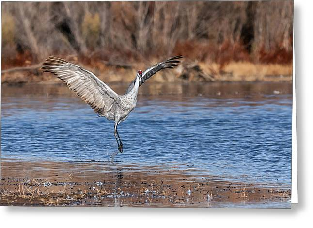 Jump - Sandhill Crane - Bosque Greeting Card by SharaLee Art