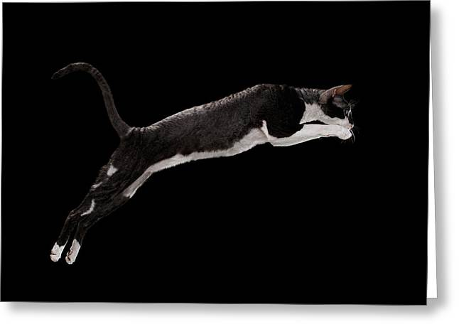 Jumping Cornish Rex Cat Isolated On Black Greeting Card by Sergey Taran