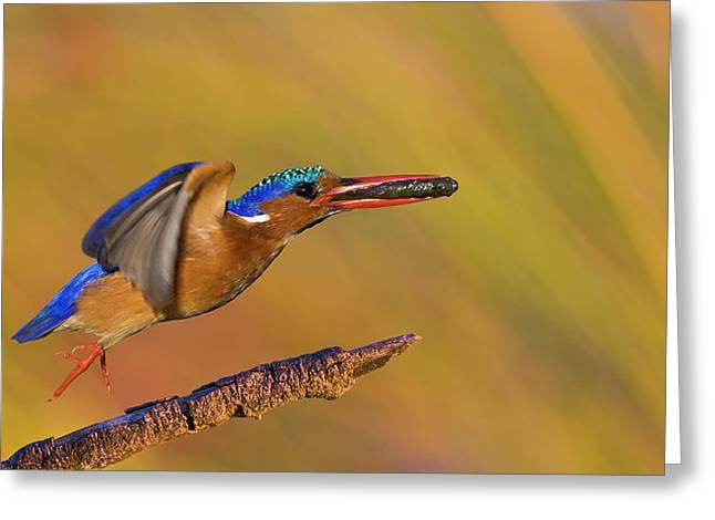 Jumping Jewel Greeting Card by Basie Van Zyl