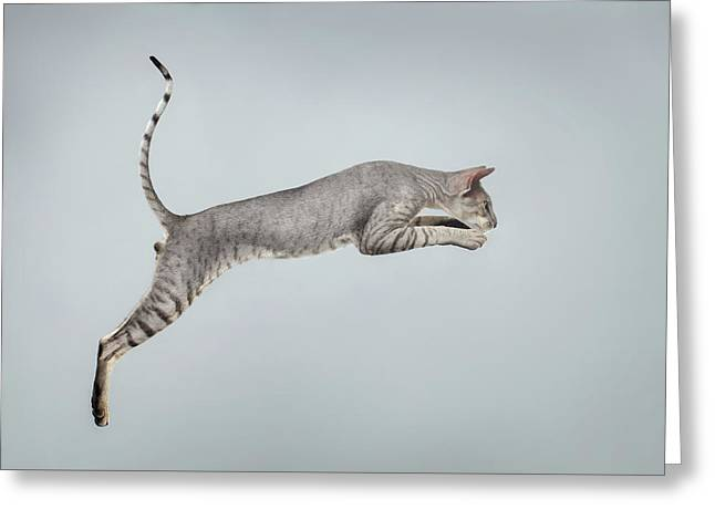 Jumping Peterbald Sphynx Cat On White Greeting Card by Sergey Taran