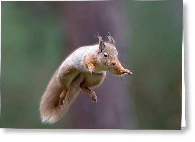 Jumping Red Squirrel Greeting Card