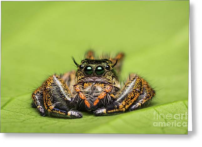 Jumping Spider On Green Leaf. Greeting Card by Tosporn Preede