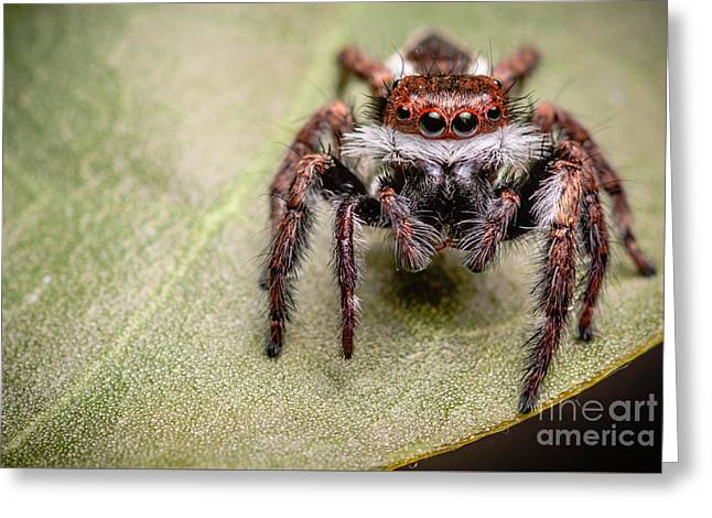 Greeting Card featuring the photograph Jumping Spider by Tosporn Preede