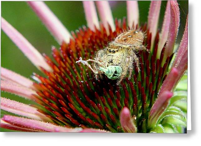 Jumping Spider With Green Weevil Snack Greeting Card