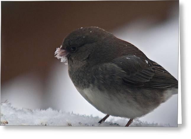 Junco In Snow Greeting Card by Douglas Barnett