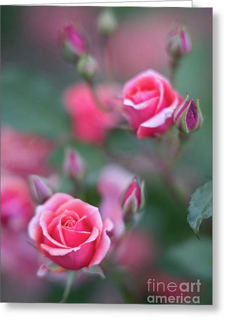June In The Rose Garden Greeting Card
