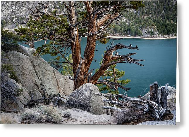 June Lake Juniper Greeting Card