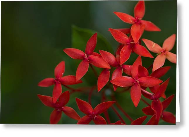 Jungle Geranium Greeting Card
