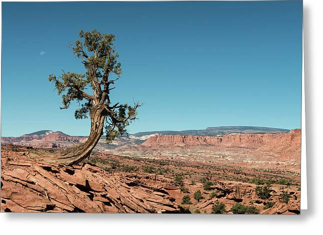 Juniper In Capitol Reef Greeting Card