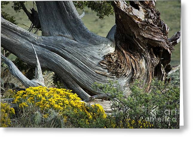 Black Mesa Greeting Cards - Juniper Sculpture Greeting Card by Fred Lassmann