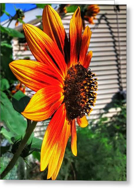Just Another Sunflower Greeting Card by Dustin Soph