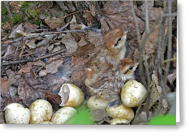 Just Hatched Ruffed Grouse Chicks Greeting Card by Asbed Iskedjian
