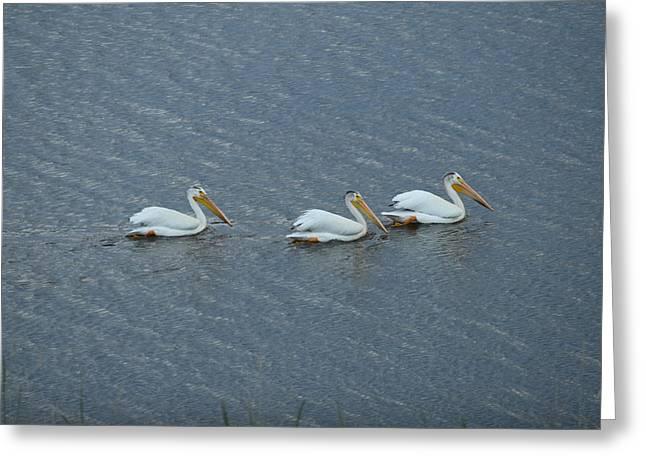 Triple Pelicans Lake John Swa Co Greeting Card