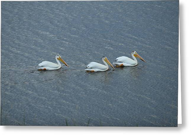 Triple Pelicans Lake John Swa Co Greeting Card