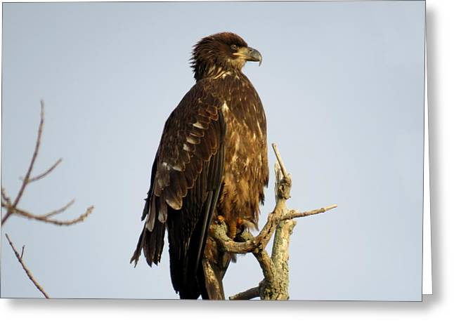 Juvenile Bald Eagle 1 Greeting Card