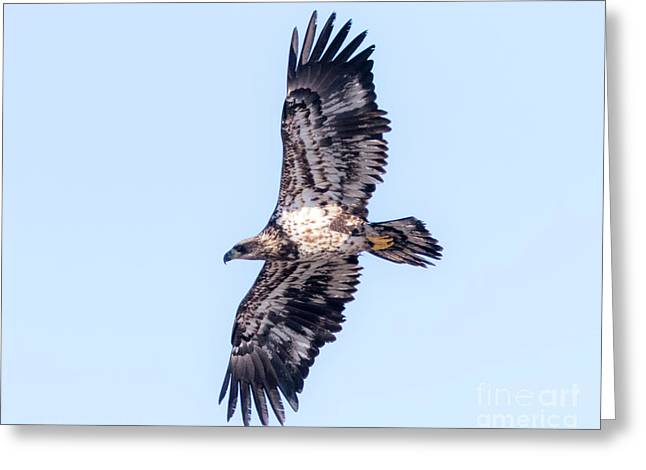 Greeting Card featuring the photograph Juvenile Bald Eagle 2017 by Ricky L Jones