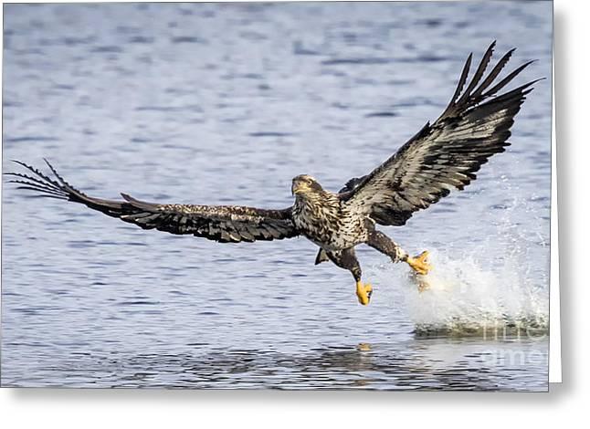 Juvenile Bald Eagle Fishing Greeting Card