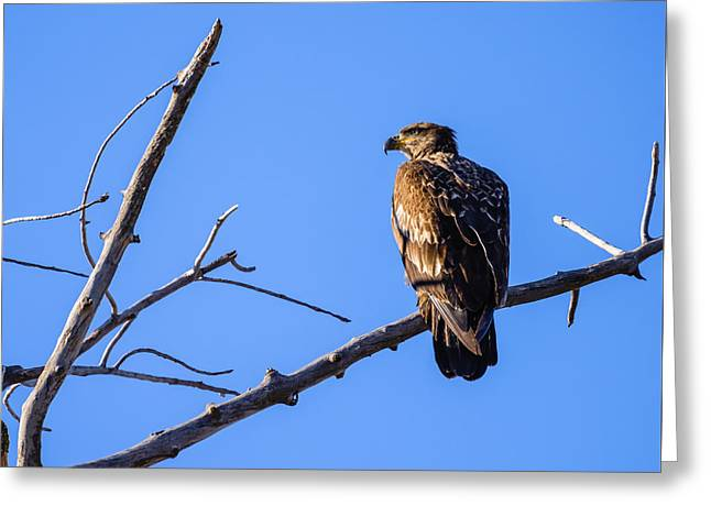 Juvenile Bald Eagle In Nature Greeting Card