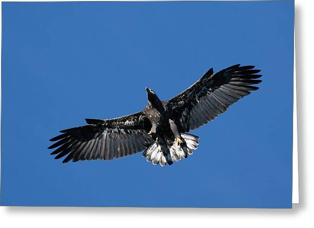 Juvenile Bald Eagle Greeting Card