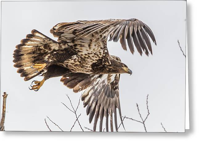 Juvenile Bald Eagle Take Off Greeting Card by Marc Crumpler
