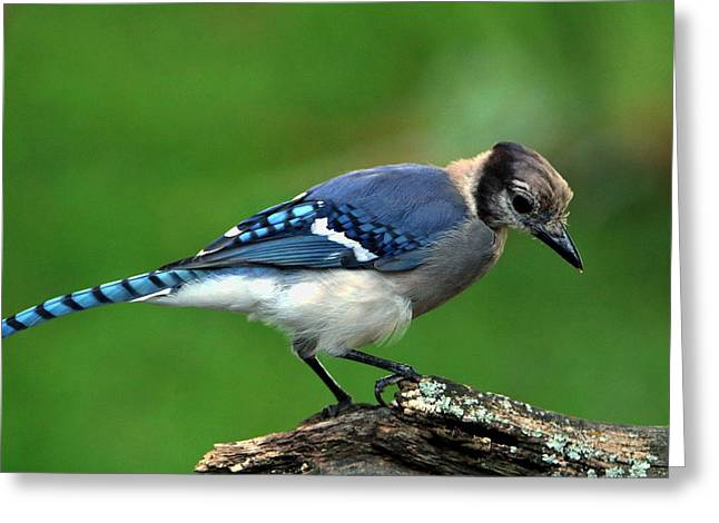 Juvenile Blue Jay  Greeting Card