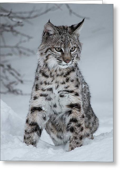 Juvenile Bobcat In The Snow Greeting Card