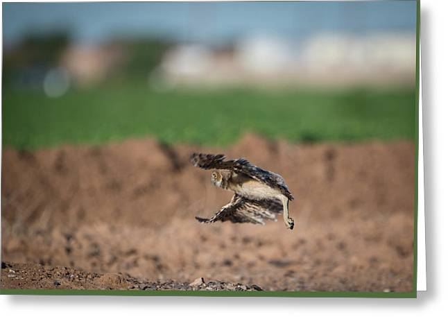 Juvenile Burrowing Owl Testing Out His Wings Greeting Card