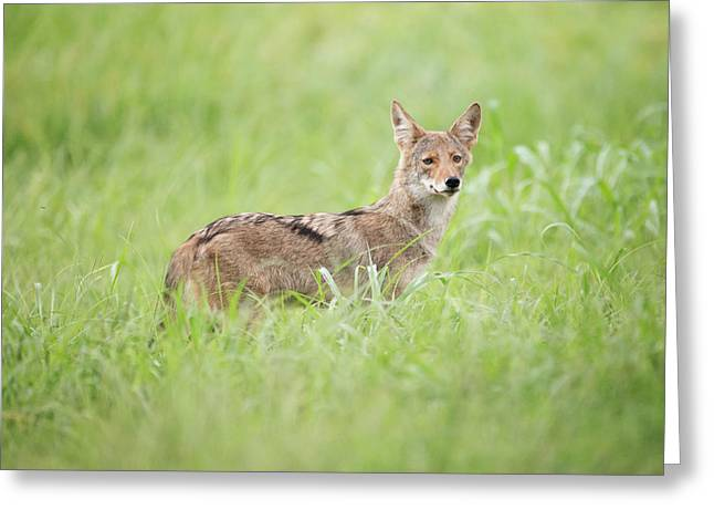 Juvenile Coyote Greeting Card
