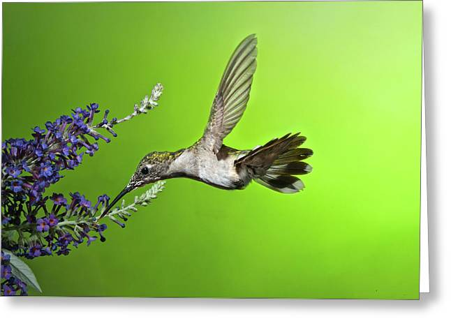 Juvenile Female Hummingbird On Butterfly Bush Greeting Card by Lara Ellis