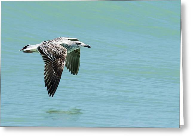 Juvenile Great Black-backed Gull In Flight Greeting Card by Dawn Currie