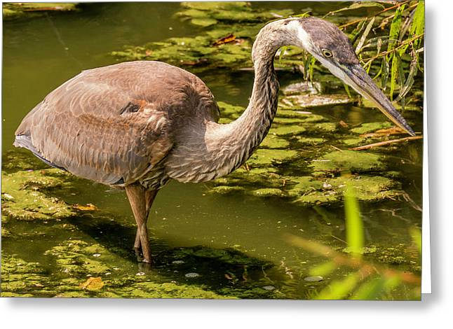 Juvenile Great Blue Heron Greeting Card