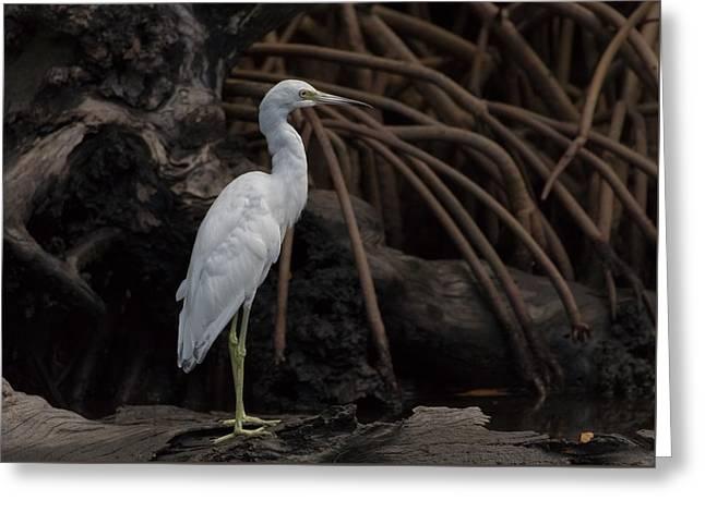 Juvenile Little Blue Heron Greeting Card by Debra Larabee